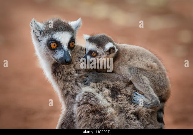 Ring-tailed Lemur (Lemur catta) with baby on its back, faces together - Stock Image
