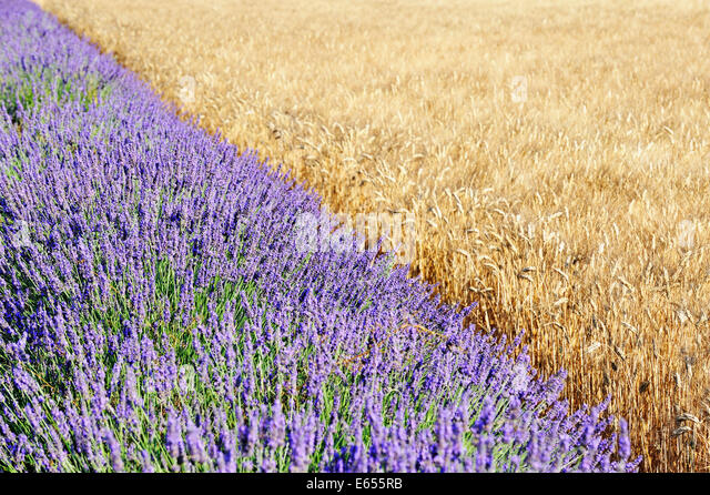 Summer season - Lavender and wheat field side by side, France, Europe - Stock Image