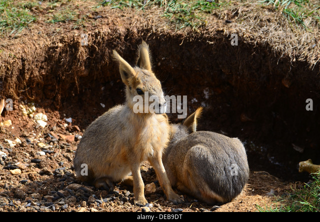Young Mara (Dolichotis) waiting by a borrow, also known as Patagonian Cavy - Stock Image