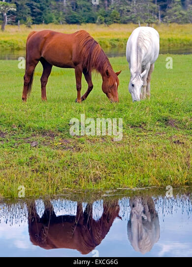 Arabian Horses chestnut and white grassing by creek, reflection in water - Stock Image