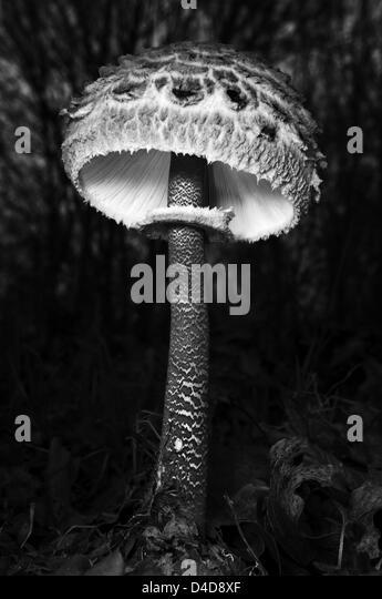 Macrolepiota procera mushroom - Stock Image