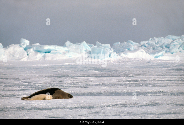 Canada harp seal pup and mother on ice floe - Stock Image
