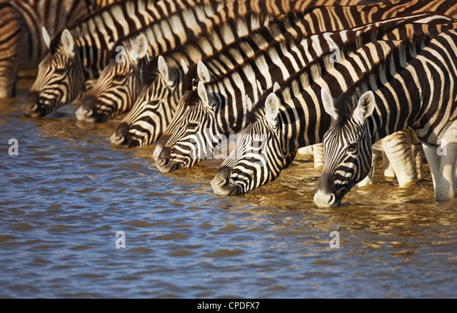 Herd of zebras drinking water in Etosha; Equus burchell's - Stock Image
