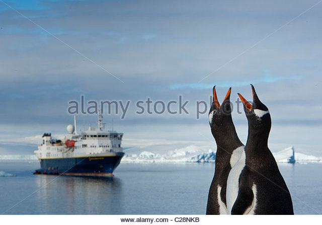 Gentoo penguins with open bills on a beach in front of a cruise ship. - Stock Image