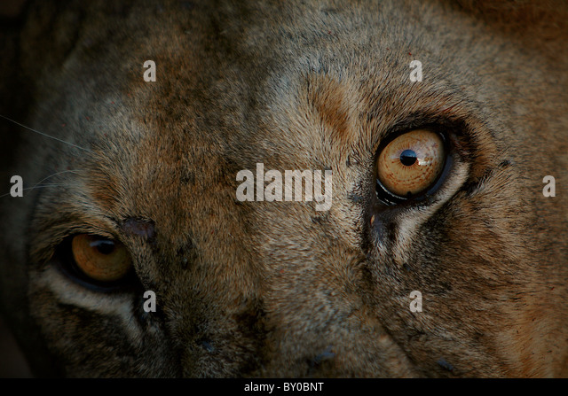 FEMALE LION (PANTHERA LEO) MIKUMI NATIONAL PARK TANZANIA AFRICA. - Stock Image