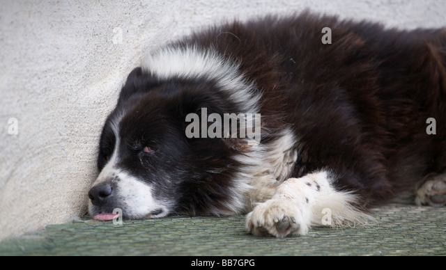 Dog Tired. A black and white sheepdog lies against a whitewashed wall with bloodshot eyes and tongue hanging out. - Stock Image