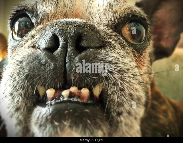 A smiling old french bulldog. - Stock Image