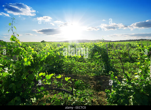 Beautiful sunny day in the summer vineyard - Stock Image