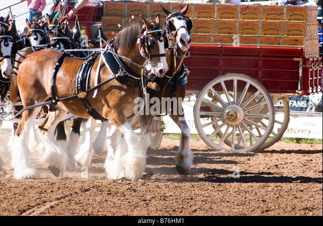 Cow Pulling Wagon : Wagon pulling harness for cows horse drawn