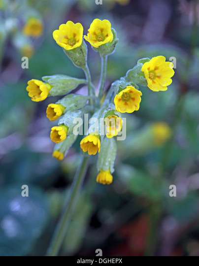 Yellow Spring flowers of Primula Veris in a wood, Cheshire, England, UK - Stock Image