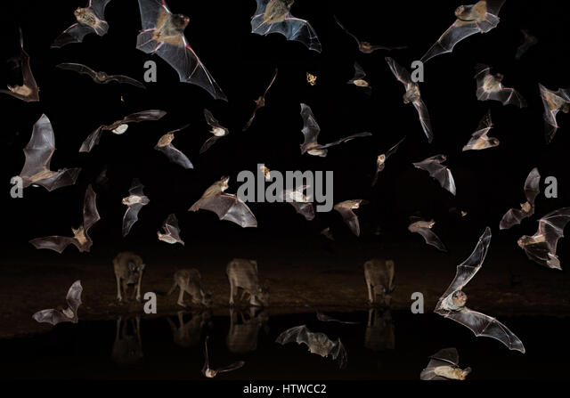 Australian Bats - Stock Image