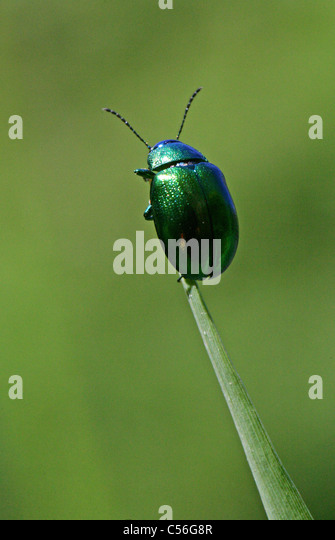 Mint Leaf Beetle, Chrysolina menthastri, Chrysomelidae, Coleoptera. UK. Often found near water on reeds and other - Stock Image