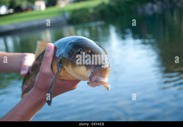 Bottom feeder fish stock photos bottom feeder fish stock for Bottom feeders fish