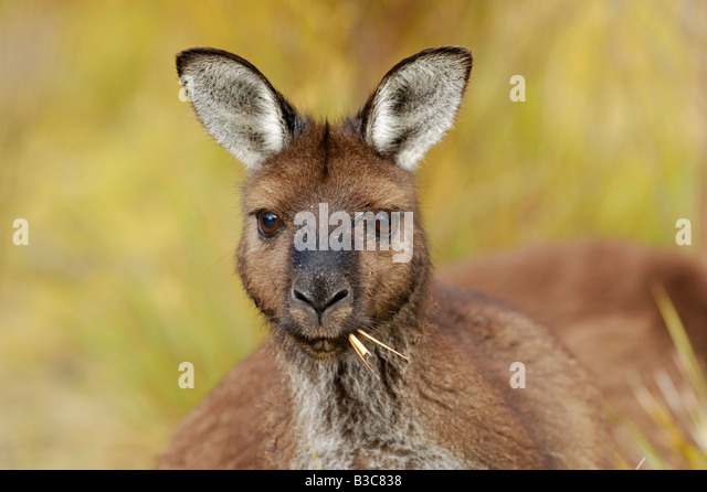 Western Grey Kangaroo Macropus fuliginosus adult eating grass Australia - Stock Image