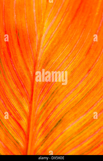 Orange canna leaf detail pattern, full frame, close up - Stock Image