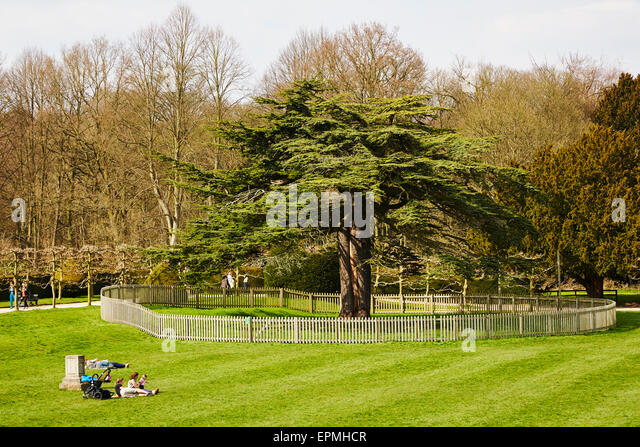 Old cedar tree at Rufford Abbey Country Park, Nottinghamshire, England, UK. - Stock Image