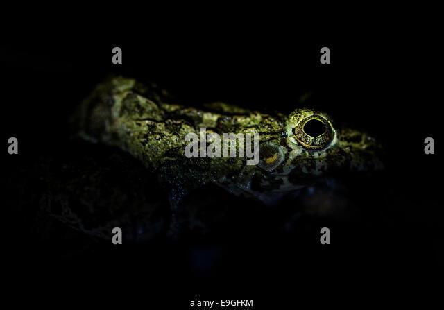Asian Grass Frog (Fejervarya limnocharis) - Stock Image