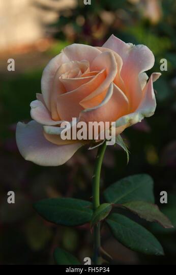 Rose MARILYN MONROE, apricot, hybrid tea, - Stock Image