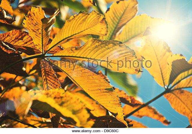sunlight leaves - Stock Image