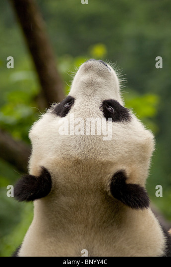 Giant panda looking skywards, Wolong, Sichuan Province, China. - Stock Image