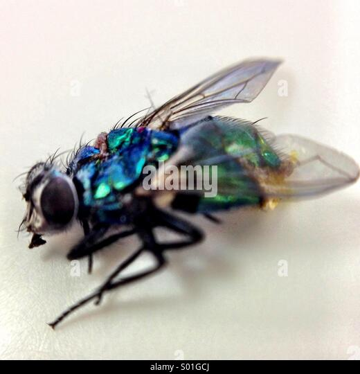 Dead Fly - Stock Image