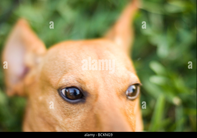 Dachshund Hound Stock Photos & Dachshund Hound Stock ...