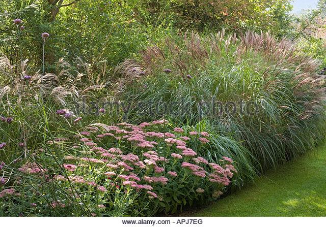 Verbena bonariensis and grasses stock photos verbena for Ornamental grass border design