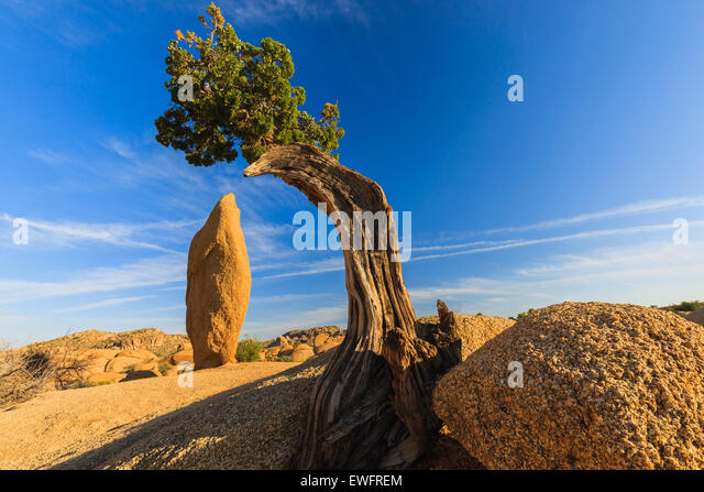 Juniper tree and conical rock at Jumbo Rocks in Joshua Tree National Park California USA. - Stock Image
