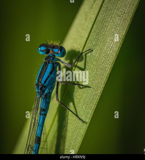 Azure Damselfly - Stock Image