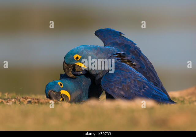 A pair of Hyacinth Macaws playing on the ground in South Pantanal, Brazil - Stock Image