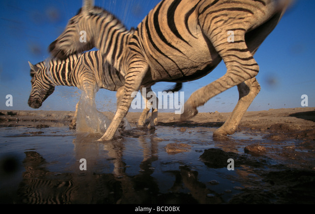 BURCHELL'S or PLAINS ZEBRA (Equus burchelli) two running in waterhole. Etosha National Park. Namibia - Stock Image