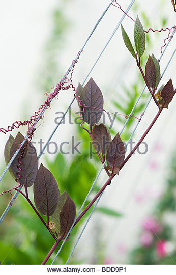 Cobaea scandens. Cup and saucer vine plant climbing up a wire support in a garden. UK - Stock Image