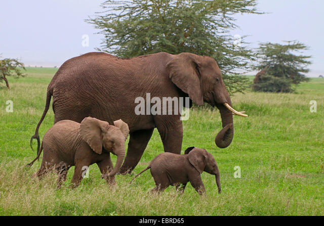 African elephant (Loxodonta africana), cow elephant with two calves , Tanzania, Serengeti National Park - Stock Image