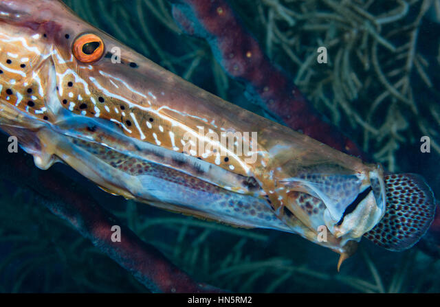 Trumpetfish captures and swallows small member of the grouper family. - Stock-Bilder