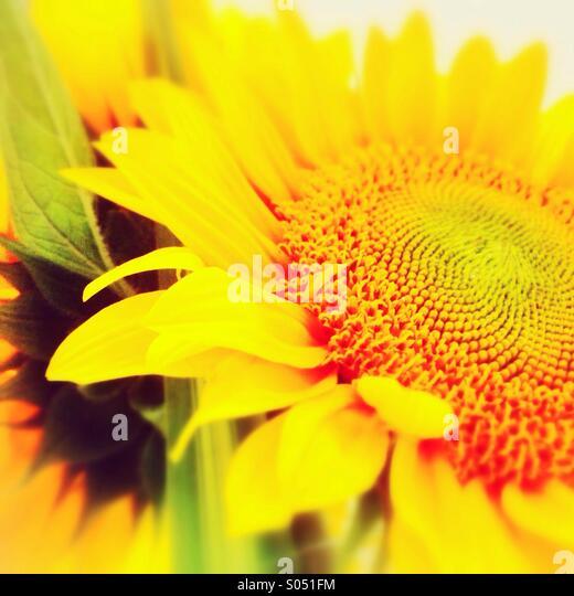 Sunflowers - Stock-Bilder