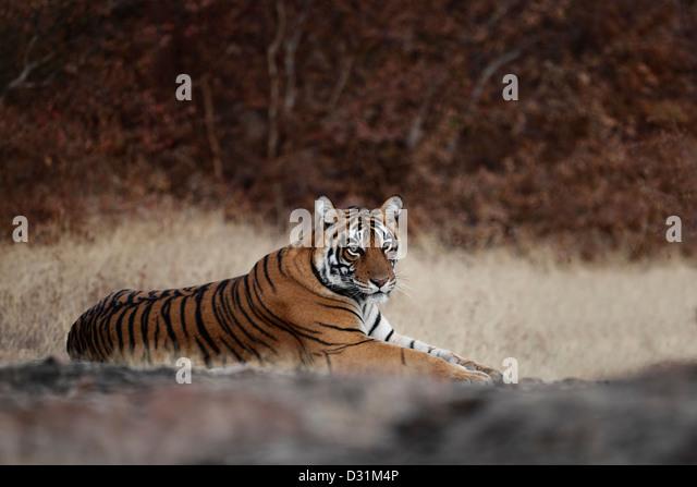 Wild Bengal tiger, Panthera tigris, lying down, Ranthambore N P, India - Stock-Bilder