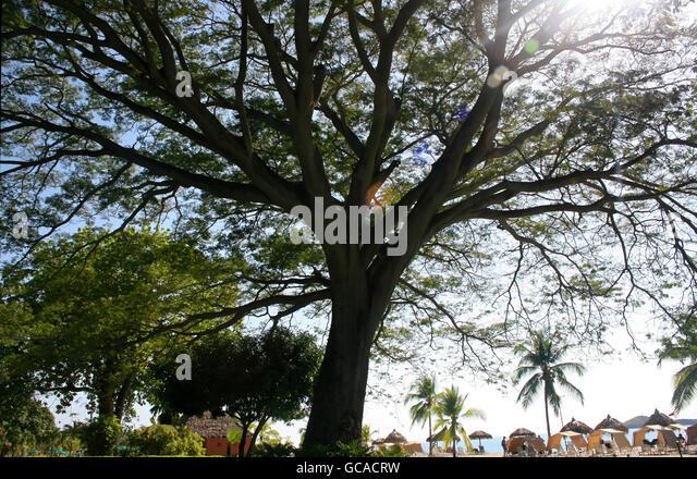 Large corotu tree with sunshine. - Stock Image