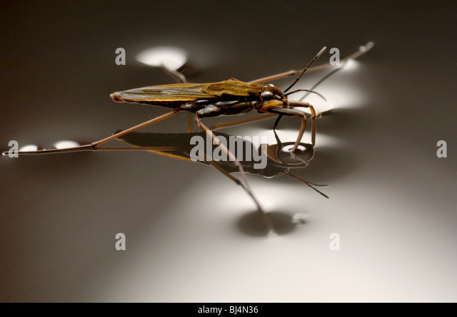 A pond skater, Gerris lacustris, walks on water using surface tension, note the dimpled meniscus. - Stock-Bilder