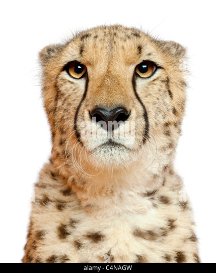 Close-up of Cheetah, Acinonyx jubatus, 18 months old, in front of white background - Stock-Bilder