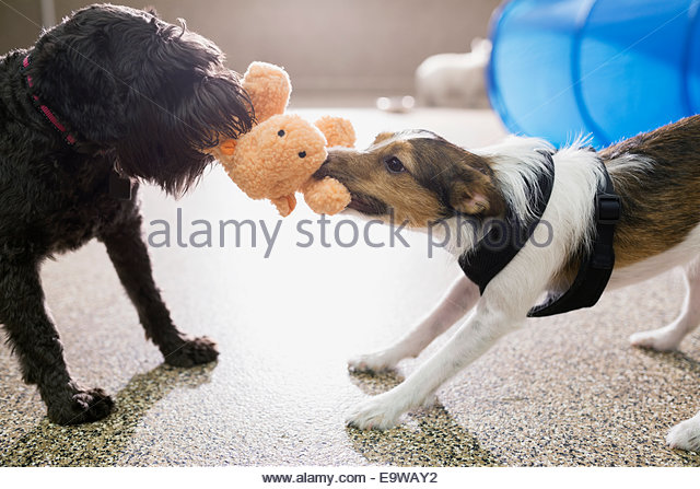 Dogs playing tug-of-war with stuffed animal - Stock-Bilder