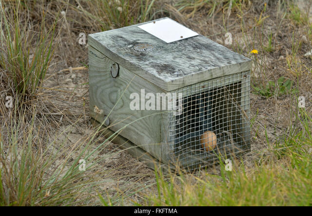 Brown egg in animal cage trap. Removal of animal pests has allowed the reintroduction of native species - Stock-Bilder