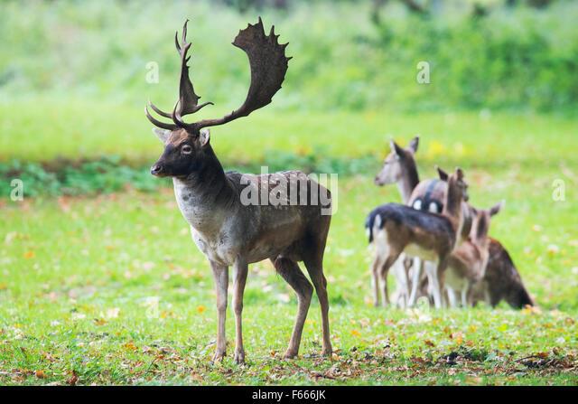 Fallow deer (Dama dama), buck with females, Lower Saxony, Germany - Stock Image