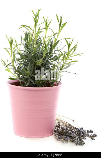 how to grow lavender in containers