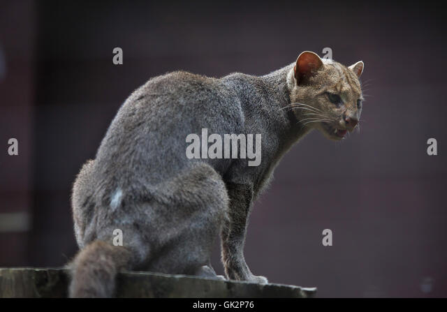 Jaguarundi (Puma yagouaroundi), also known as the eyra cat. Wildlife animal. - Stock Image