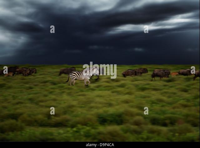 Zebra running in a thunderstorm at sunrise, Serengeti, Tanzania - Stock Image