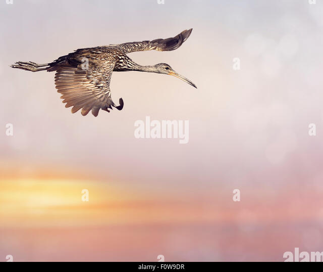 Limpkin Bird in Flight at Sunset - Stock Image