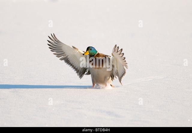 Mallard drake with wings extended lands in snow near Chena River, Fairbanks, Interior Alaska, Winter, Digitally - Stock Image