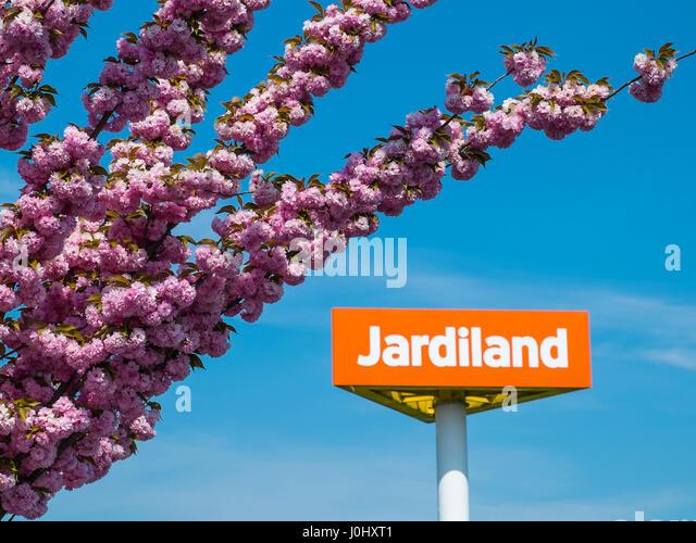Ornamental Cherry tree in full blossom at Jardiland garden center, Chatellerault, France. - Stock Image