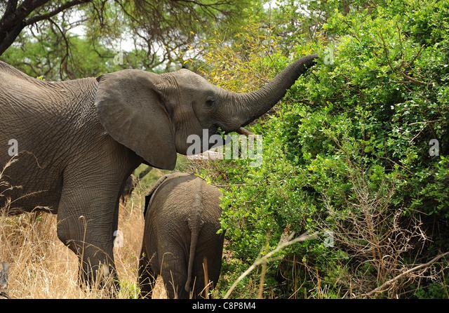 Elephants in Imire Safari Ranch, Zimbabwe, Africa - Stock Image