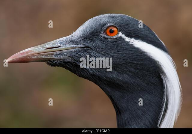 A portrait of a demoiselle crane. - Stock-Bilder